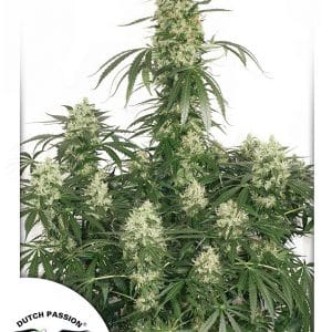The Ultimate Cannabis Seeds
