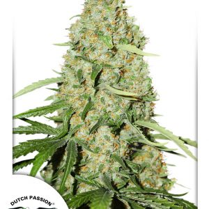 Think Fast Cannabis Seeds