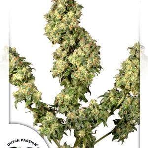 Ultra Skunk Cannabis Seeds