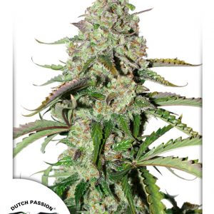 Auto Colorado Cookies Cannabis Seeds