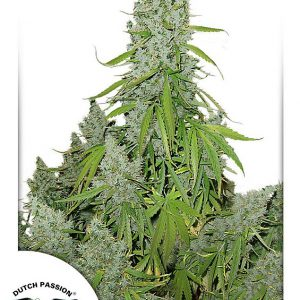Auto Ultimate Cannabis Seeds