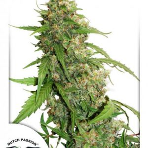 CBD Auto Compassion Lime Cannabis Seeds
