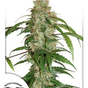 CBD Auto White Widow Cannabis Seeds