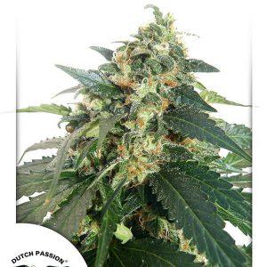 SnowStorm No.2 Cannabis Seeds