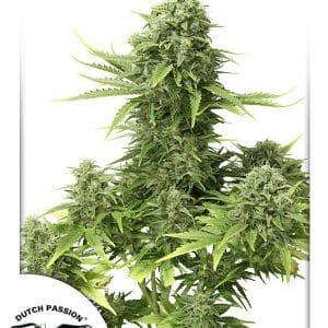 StarRyder Cannabis Seeds