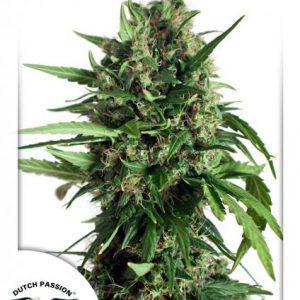 Taiga No.2 Cannabis Seeds