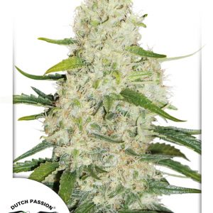 Think Big Cannabis Seeds