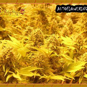 Chocmatic Cannabis Seeds