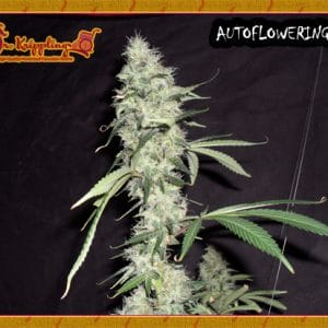 Sonic Bloom Cannabis Seeds