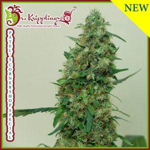 Patel's Cornershop Special Cannabis Seeds