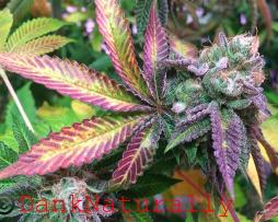 Godberry Cannabis Seeds