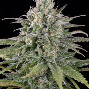 UK Cheese Auto Cannabis Seeds
