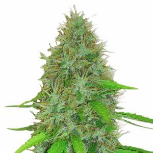 2 Fast 2 Vast Cannabis Seeds