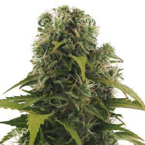 High Density Cannabis Seeds