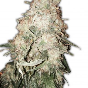 Goldmine Cannabis Seeds