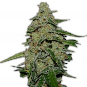 Lemon Cake Cannabis Seeds