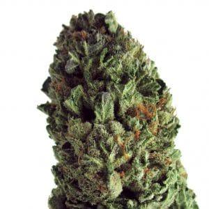 Budzilla Cannabis Seeds