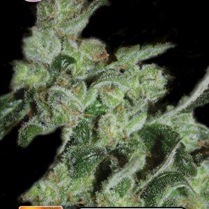 Pineapple Sativa Cannabis Seeds