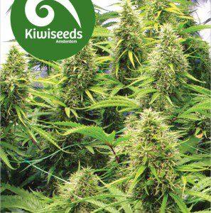 2 Pounder Cannabis Seeds