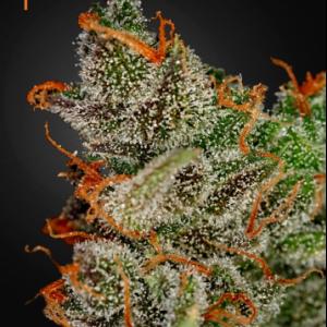 King's Kush Cannabis Seeds