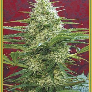 Satori Cannabis Seeds