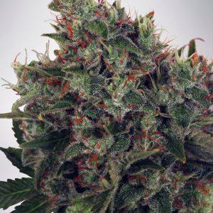 Ultra White Amnesia Cannabis Seeds