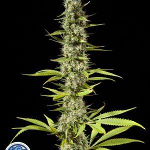 Early Maroc Cannabis Seeds