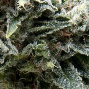 New York City Cannabis Seeds