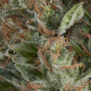 Wembley Cannabis Seeds