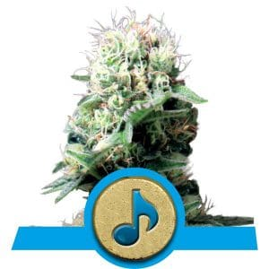 Dance World Cannabis Seeds