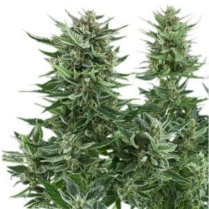 Easy Bud Cannabis Seeds