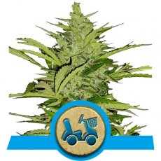 Fast Eddy Automatic Cannabis Seeds