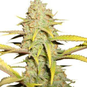 O.G. Kush Cannabis Seeds