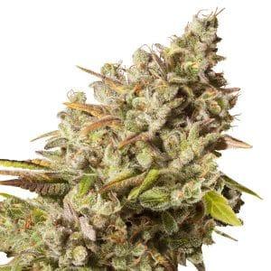 Royal Gorilla Cannabis Seeds