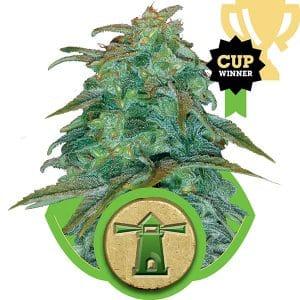 Royal Haze Cannabis Seeds