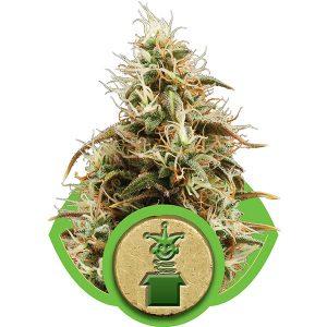Royal Jack Cannabis Seeds