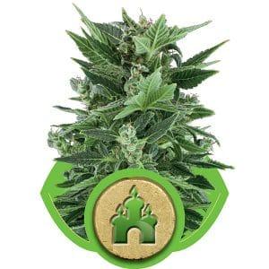 Royal Kush Cannabis Seeds