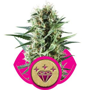 Special Kush 1 Cannabis Seeds