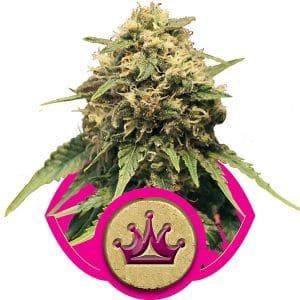 Special Queen 1 Cannabis Seeds