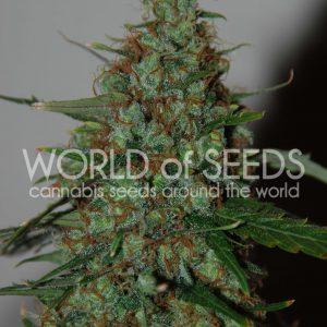 Wild Thailand Ryder Cannabis Seeds