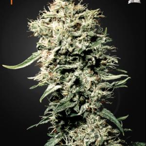 White Rhino Cannabis Seeds