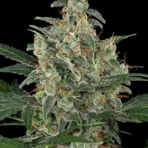 Cheese Autoflowering CBD Cannabis Seeds