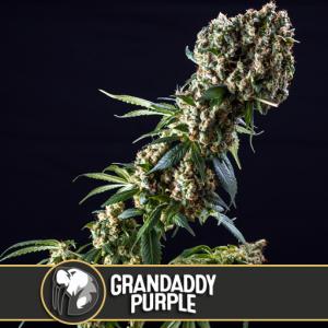 Grandaddy Purple