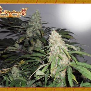 Kripple Roulette Cannabis Seeds