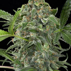 White Cheese Autoflowering Cannabis Seeds