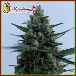 White Rush Auto Cannabis Seeds