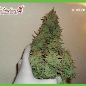 Smokin' Gun Cannabis Seeds