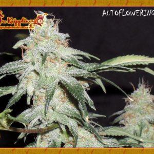 Pickled Diesel Cannabis Seeds