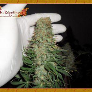 Mango Chutney Cannabis Seeds